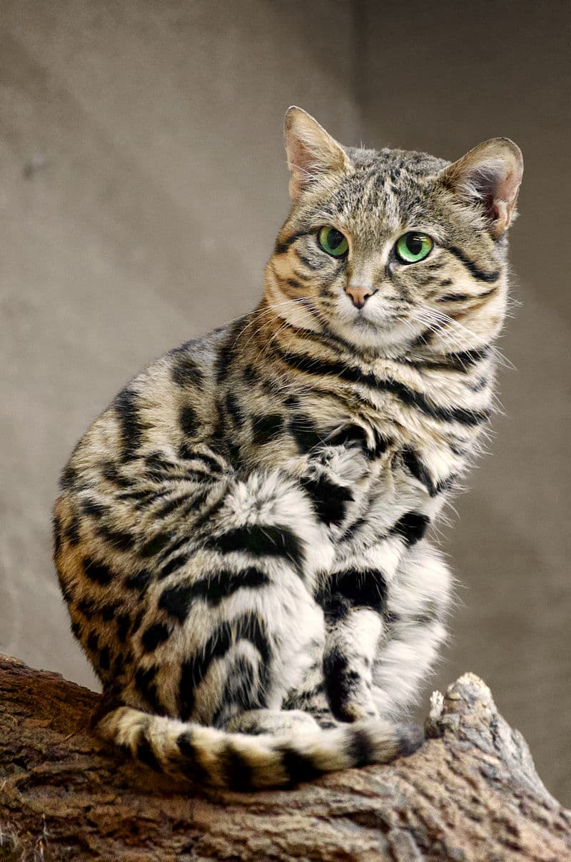 Nature Story: #6 Black-footed cat