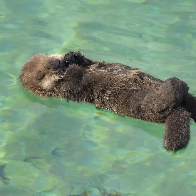 Nature Story: #1 Sea otters sleep in water, sometimes holding their hands