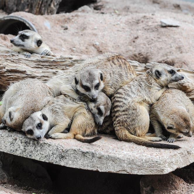 Nature Story: #4 Meerkats always sleep in heaps