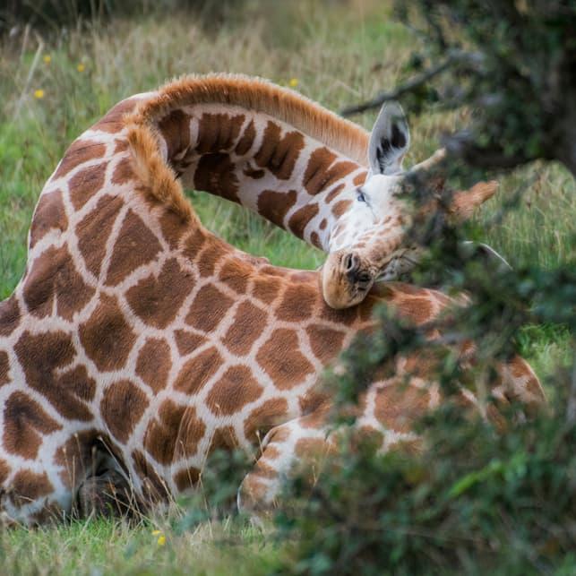 Nature Story: #2 Giraffes sleep 30 minutes a day