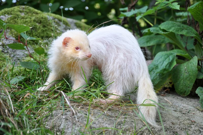 Nature Story: #11 This albino ferret looks brilliant today