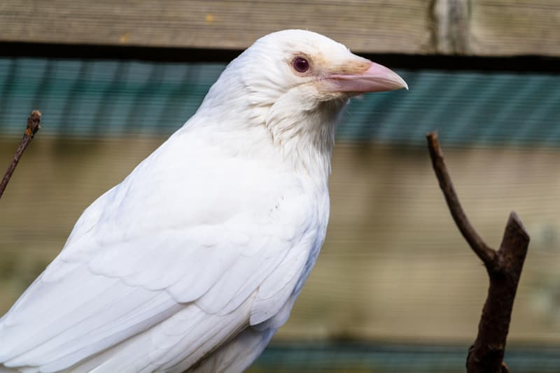 Nature Story: #3 This albino hooded crow is definitely a magical bird