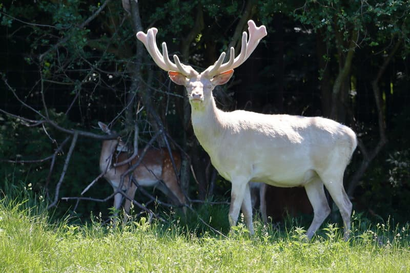 Nature Story: #5 This albino deer looks like a fairytale creature