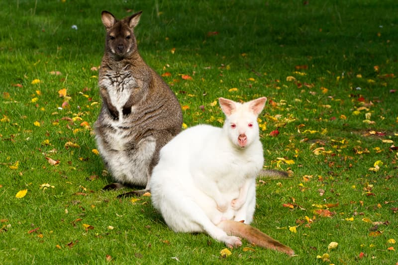 Nature Story: #8 An albino wallaby with his friend