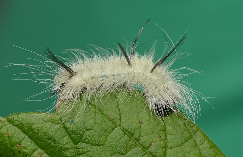 Nature Story: #2 American dagger moth caterpillar