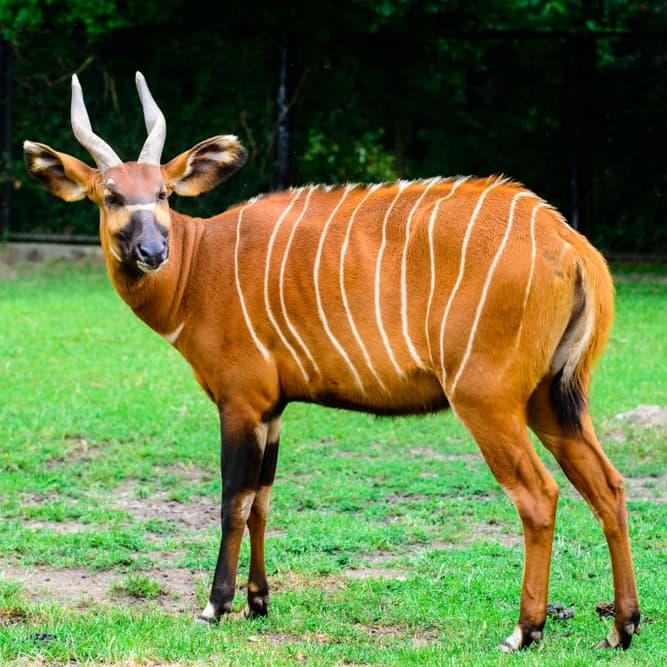 Nature Story: #10 Bongo