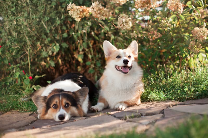 animals Story: reasons to love corgis the Pembroke Welsh corgi and the Cardigan Welsh corgi