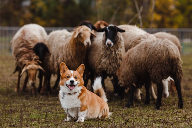 animals Story: reasons to love corgis Corgis Were Originally Used As Herders