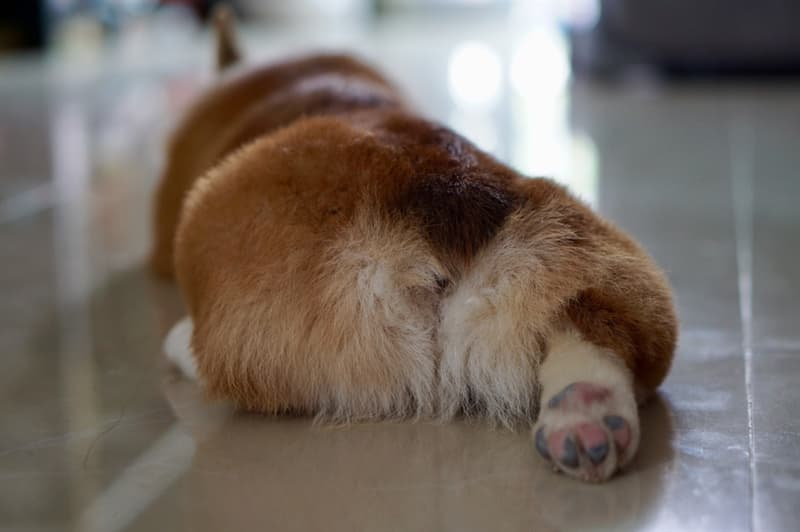 animals Story: Corgi Butts Cutest Loaf of Bread easons to love corgis