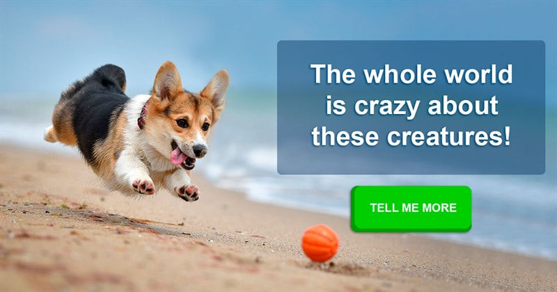 animals Story: 5 reasons to love corgis even more