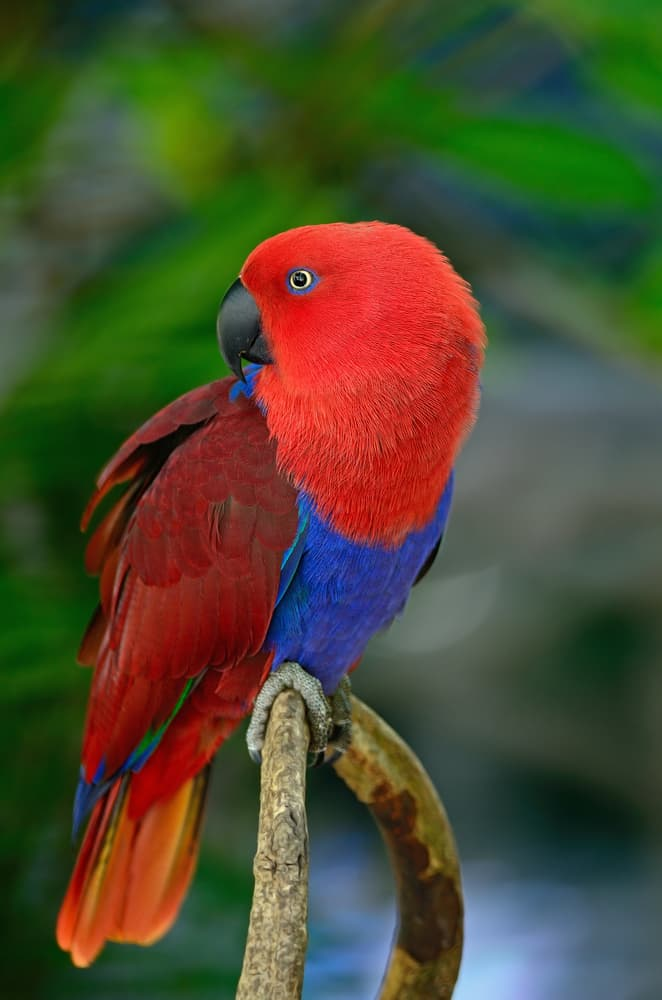 Nature Story: #2 Eclectus Parrot strikes with its beautiful feathers