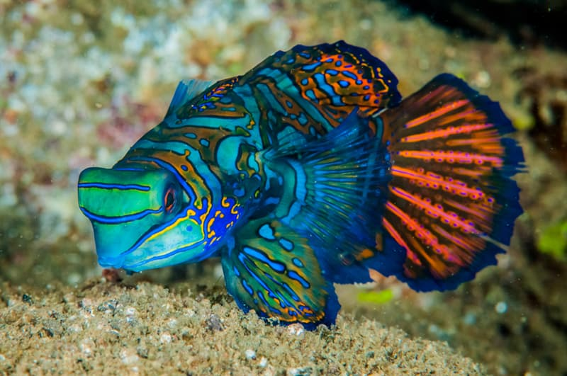 Nature Story: #4 Attractive Mandarinfish lives in the coral reefs region of the west Pacific