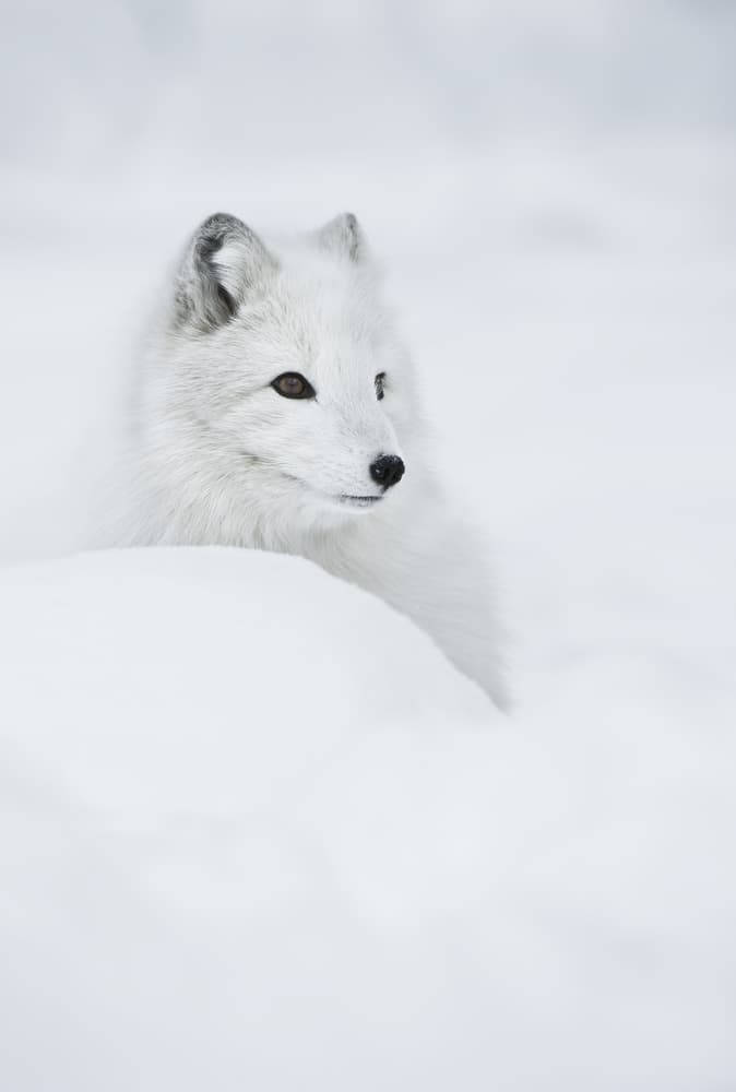 Nature Story: #5  The female Arctic Fox can survive very low temperatures