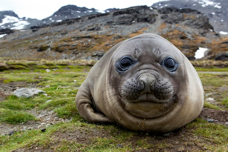 Nature Story: #8  Elephant Seal can hold its breath in water long