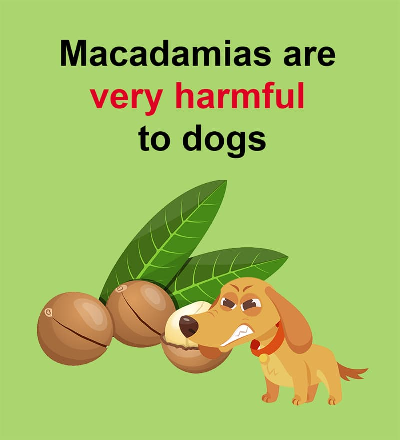 Nature Story: Macadamias are very harmful to dogs