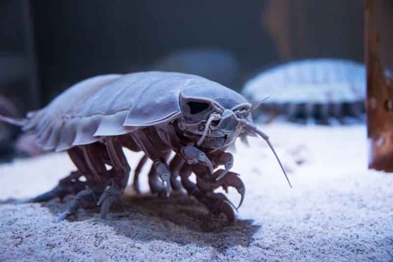 Nature Story: #1 Giant Isopod