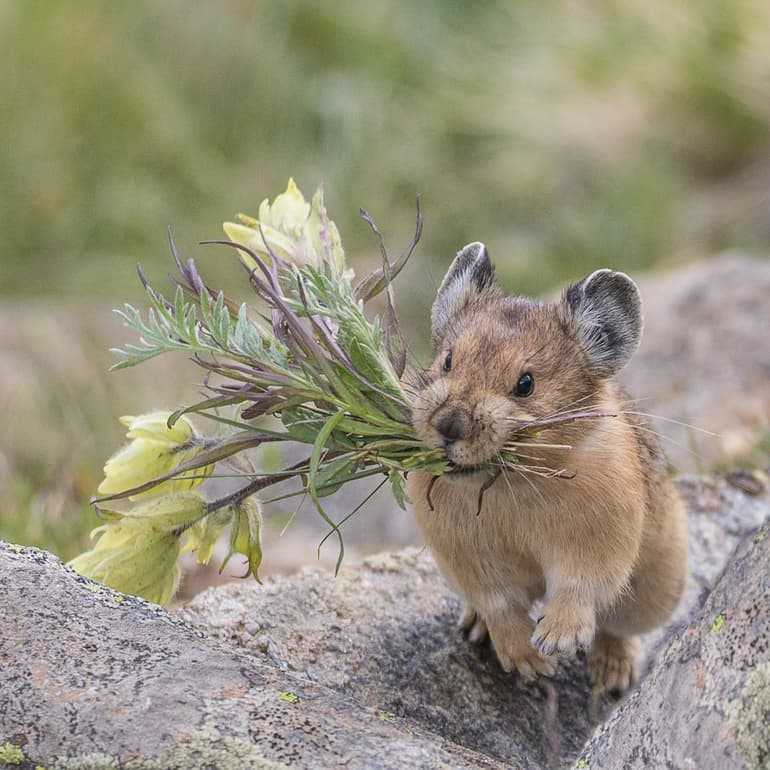 Nature Story: #1 Large-eared pika