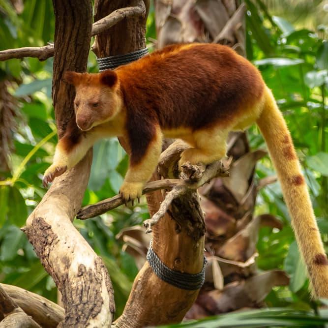 Nature Story: #2 Tree-kangaroo