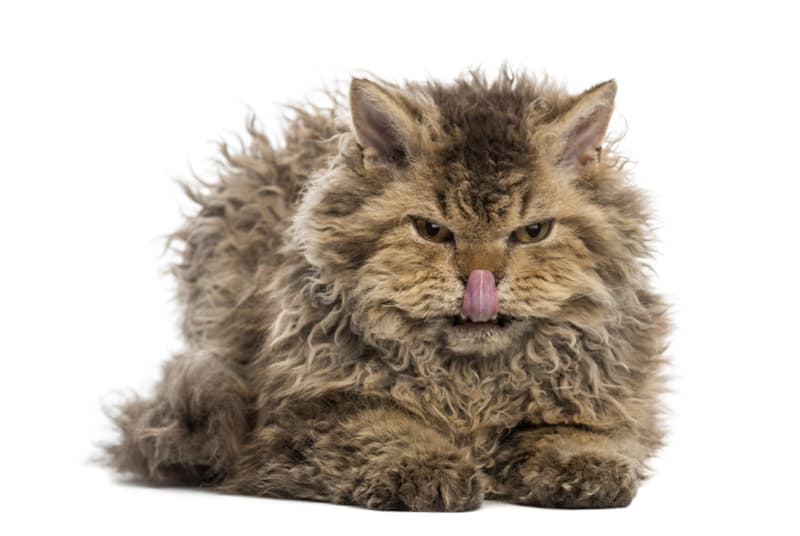 Nature Story: These curly-haired cats are the cutest thing you'll see today