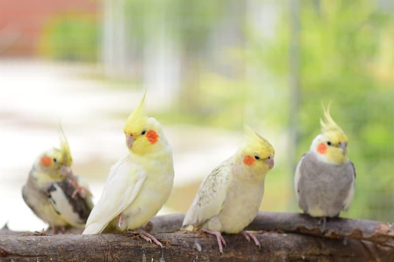 Nature Story: #2 Cockatiel