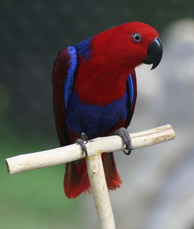 Nature Story: #6 Eclectus