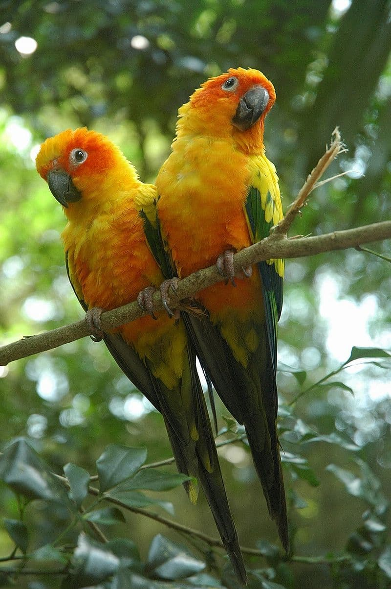 Nature Story: #7 Sun parakeet