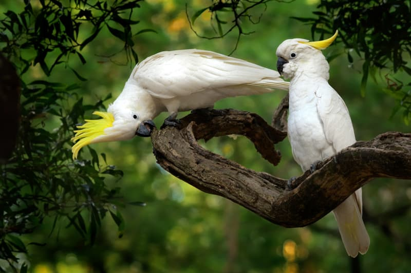 Nature Story: #9 Sulphur-crested cockatoo