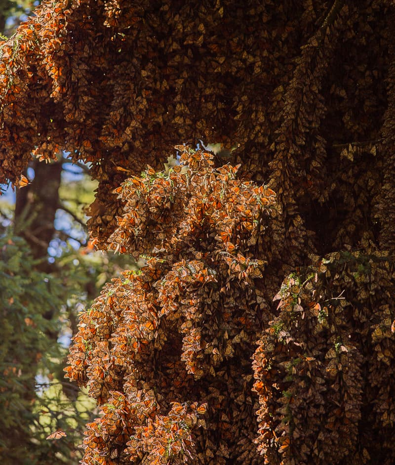 Nature Story: #5 Monarch butterfly migration