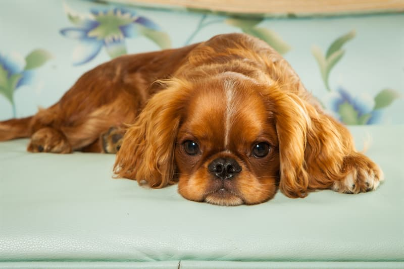 Nature Story: #10 English Toy Spaniel