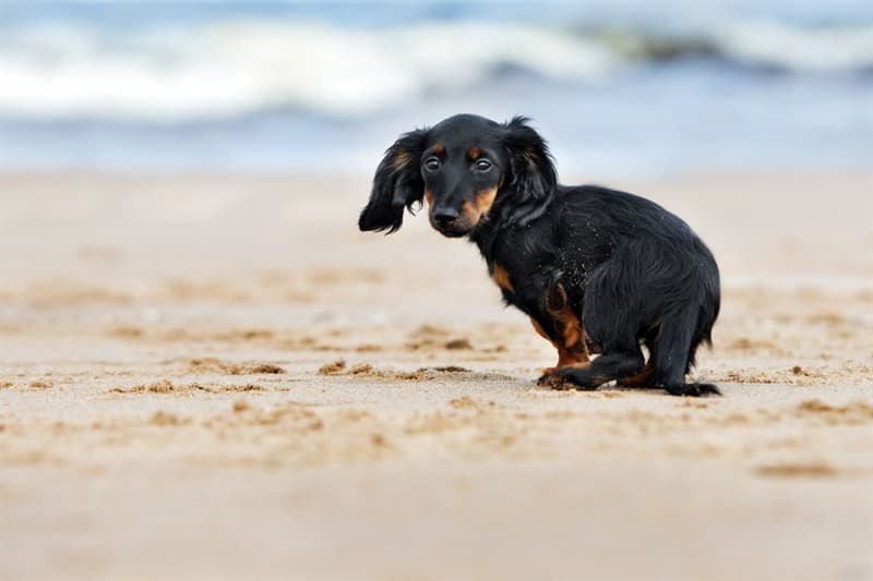 Nature Story: #3 Miniature dachshund