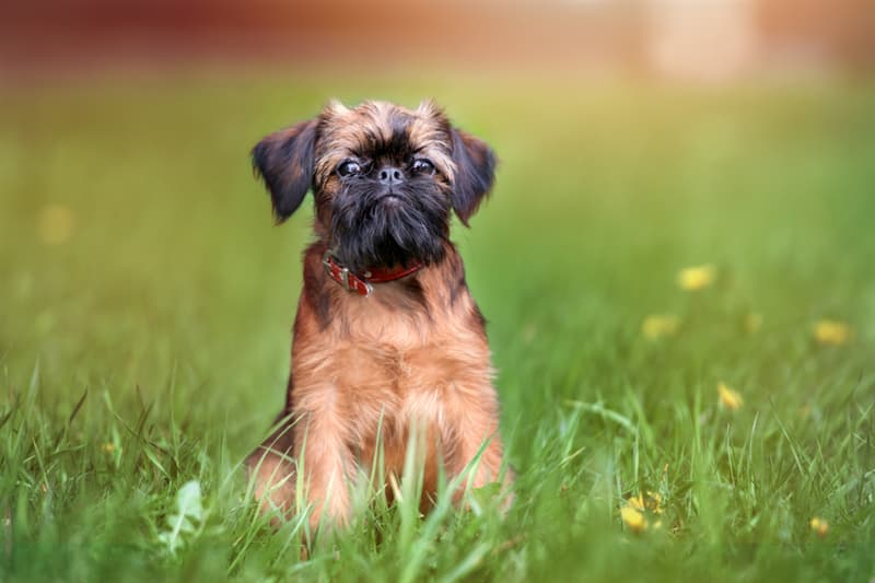 Nature Story: #5 Brussels Griffon