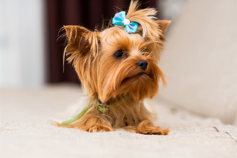 Nature Story: #9 Yorkshire Terrier
