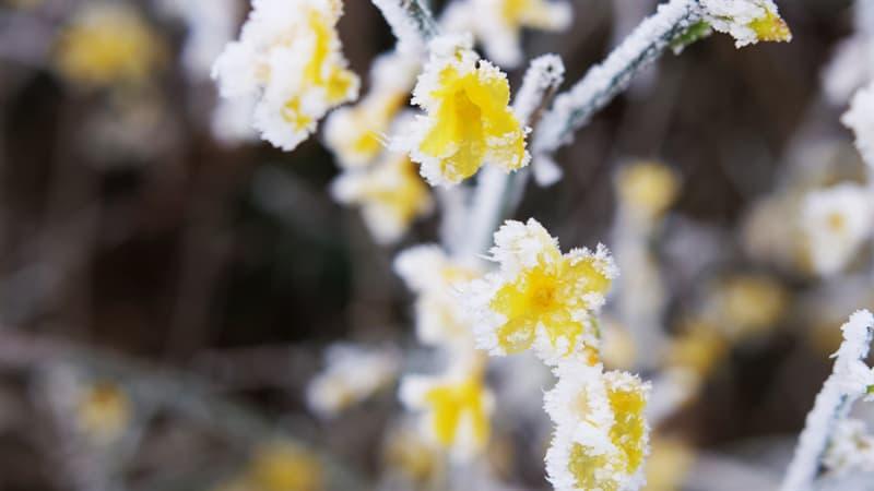 Nature Story: #2 Winter Jasmine