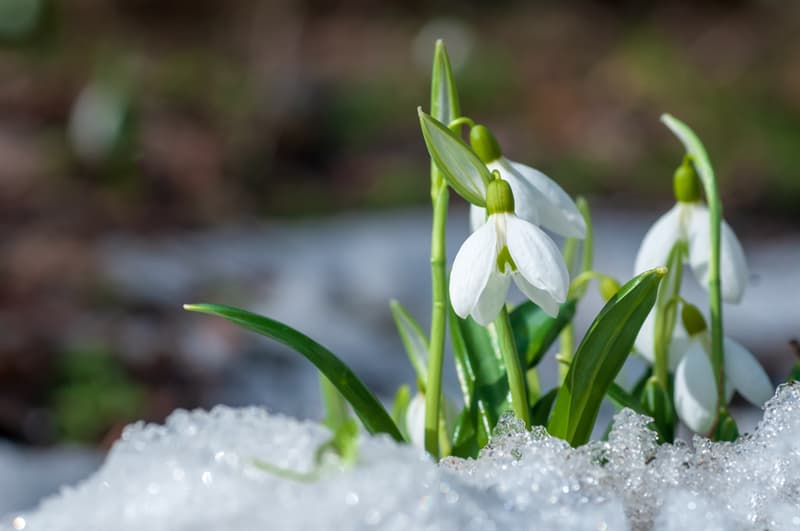 Nature Story: #3 Snowdrops