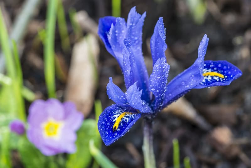 Nature Story: #5 Algerian Iris