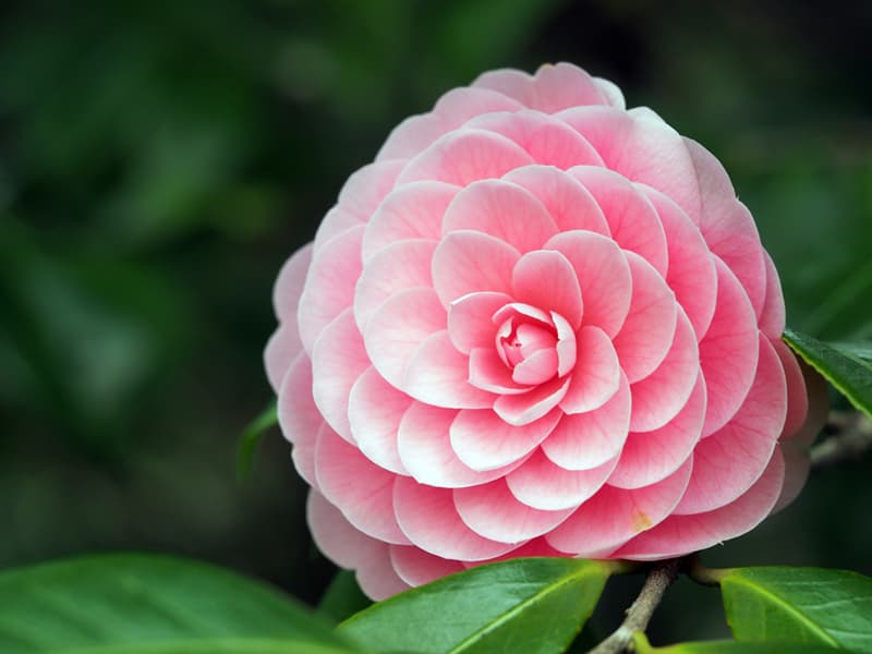 Nature Story: #9 Camellia