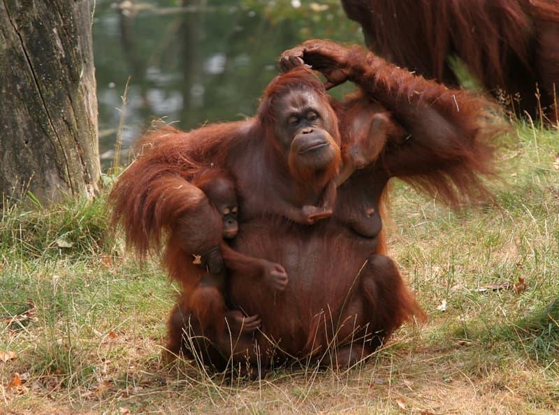 Nature Story: #10 Orangutan