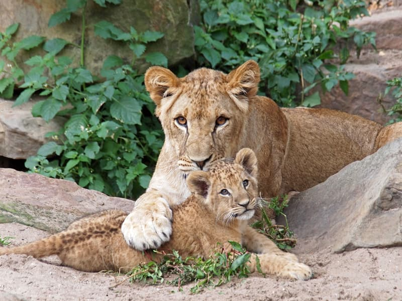 Nature Story: #13 Lion