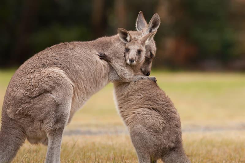Nature Story: #7 Kangaroo