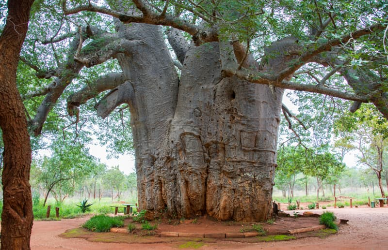 Geography Story: #11 The oldest living boabab tree, South Africa