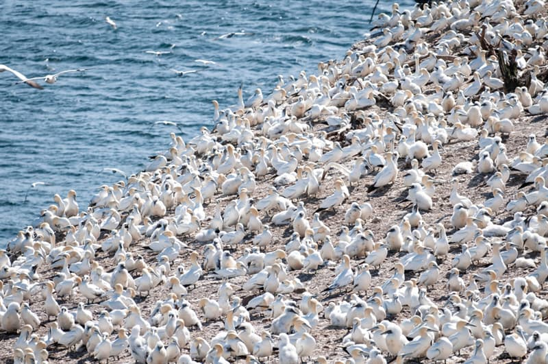 Nature Story: #1 Seabird colony of Northern Gannets