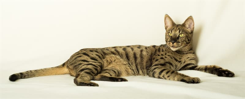 Nature Story: #2 Savannah cat