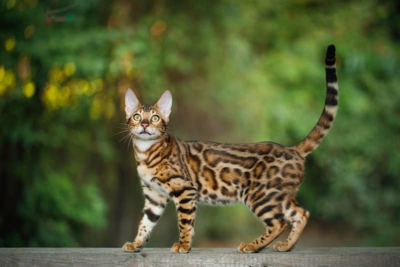 Nature Story: #3 Bengal cat