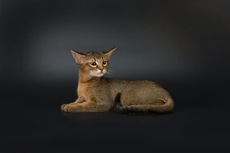 Nature Story: #7 Chausie cat