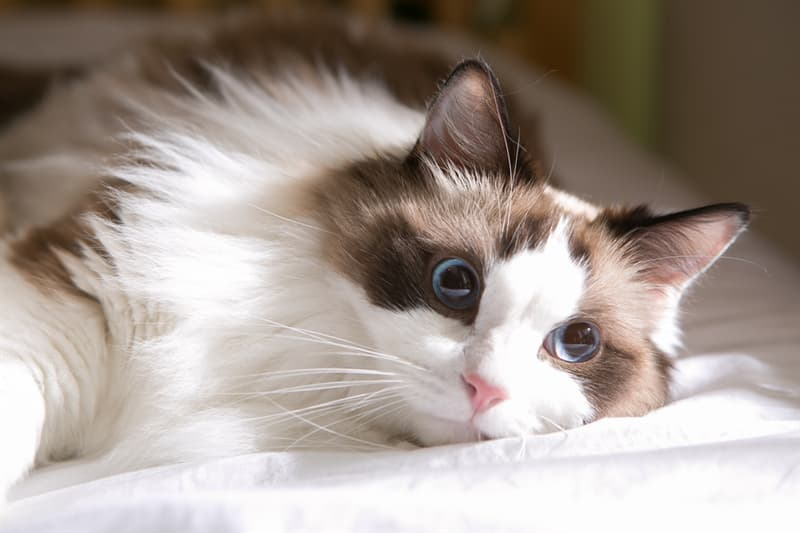 Nature Story: #8 Ragdoll cat