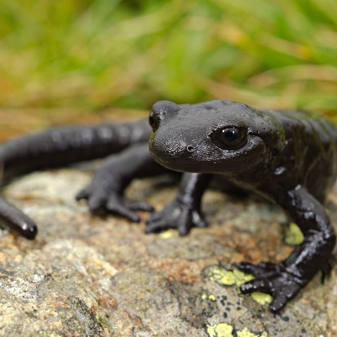 Nature Story: #1 Alpine salamander