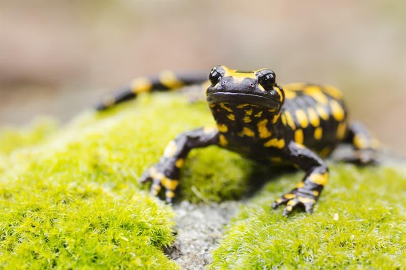 Nature Story: #3 Fire salamander