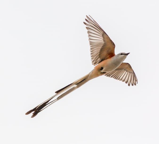 Nature Story: #10 Scissor-tailed flycatcher