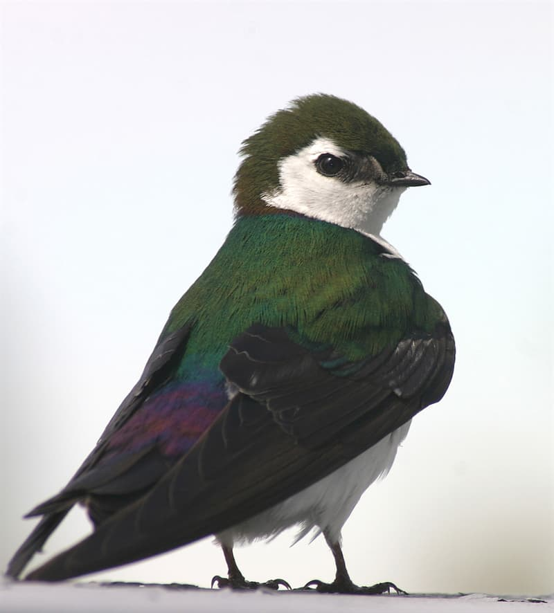Nature Story: #8 Violet-green swallow