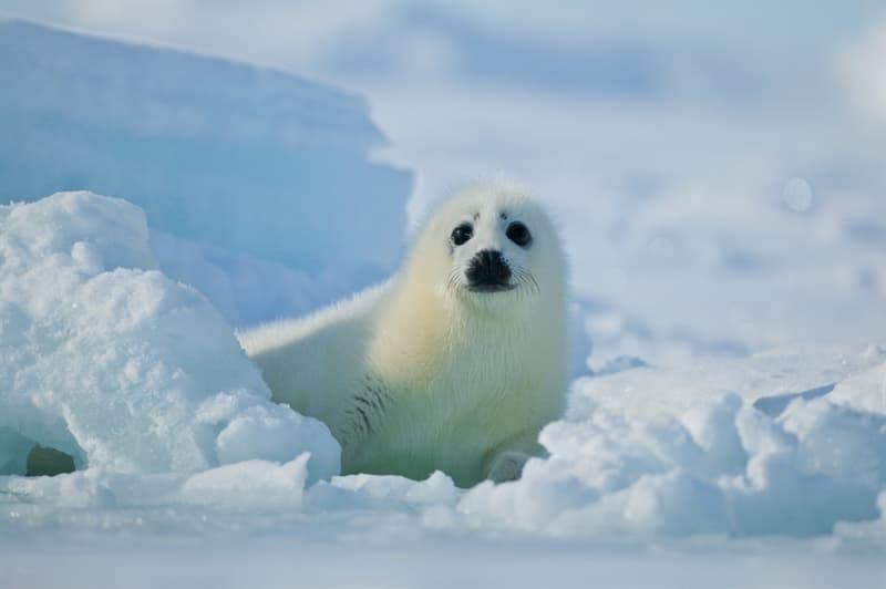 Nature Story: #13 Harp seal pup